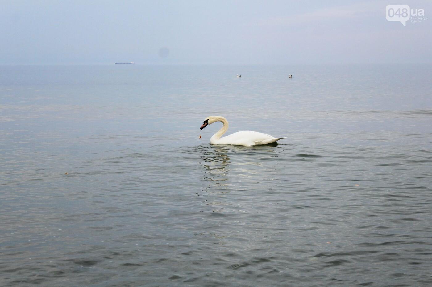 На одесском пляже поселился лебедь, - ФОТО, ВИДЕО, фото-7