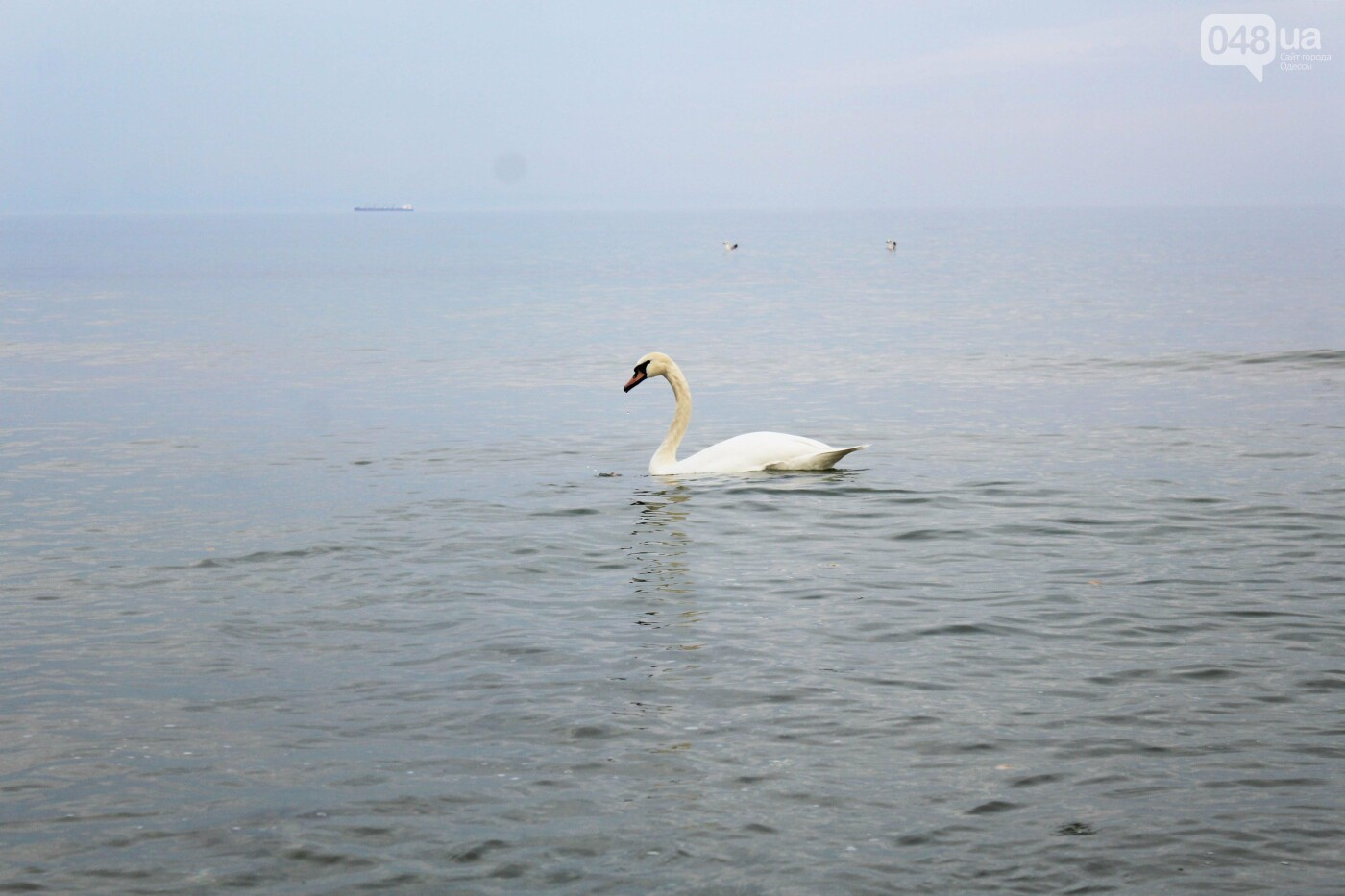 На одесском пляже поселился лебедь, - ФОТО, ВИДЕО, фото-8