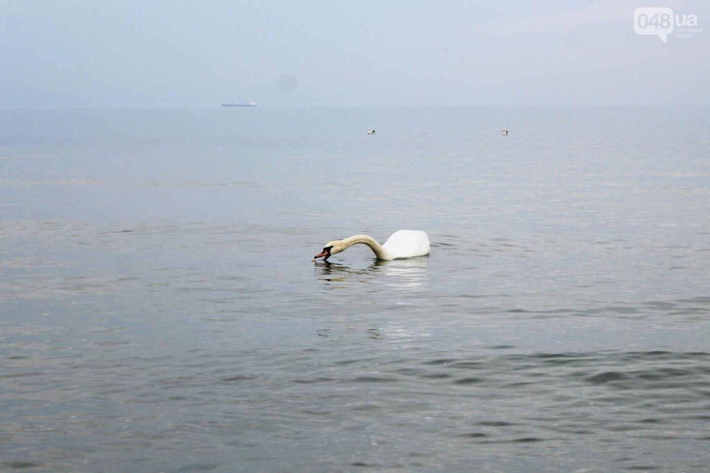 На одесском пляже поселился лебедь, - ФОТО, ВИДЕО, фото-10