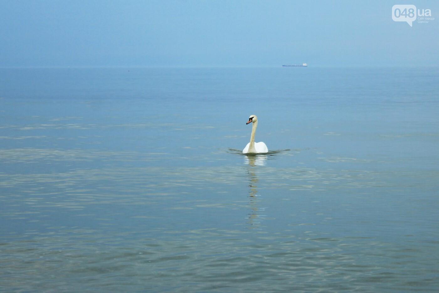 На одесском пляже поселился лебедь, - ФОТО, ВИДЕО, фото-12