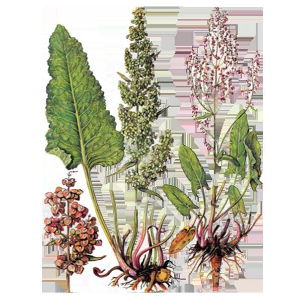 Лекарственные растения, фото-1