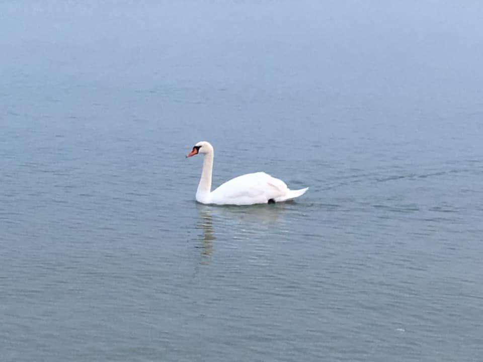 Одессит рассказал, как помочь лебедю перезимовать на море, - ФОТО, фото-1, Фото: Дмитрий Кожун