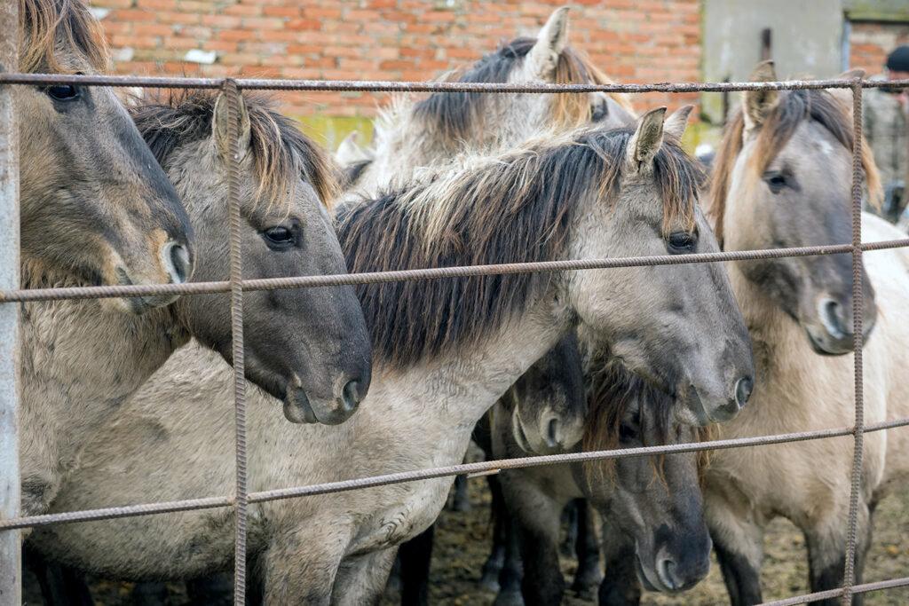 В Одесской области выпустили 20 диких лошадок, - ФОТО, ВИДЕО, фото-2