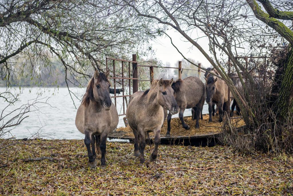 В Одесской области выпустили 20 диких лошадок, - ФОТО, ВИДЕО, фото-1