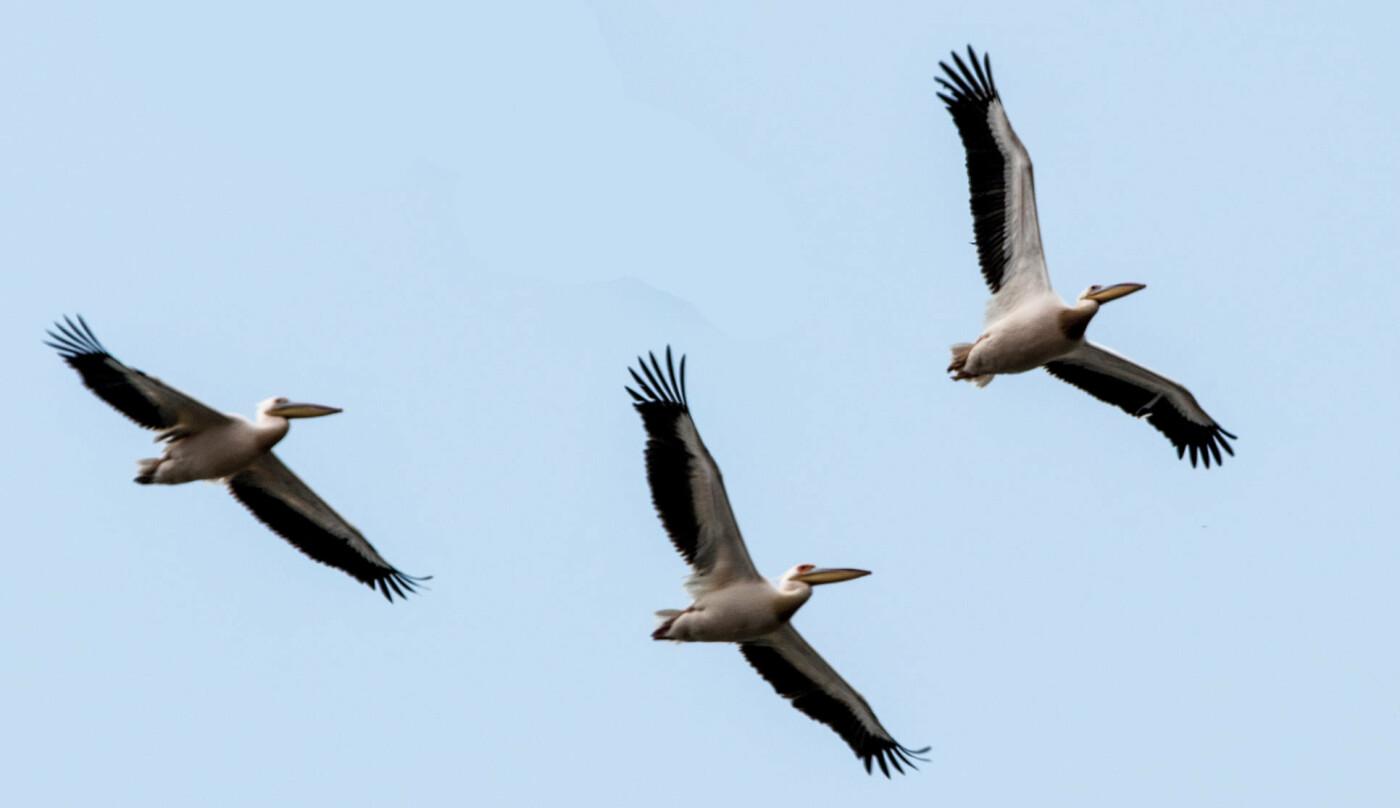 Пеликаны передумали зимовать в Африке и вернулись в Одесскую область, - ФОТО, фото-1