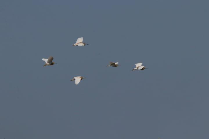В Одесскую область прилетели  краснокнижные цапли, - ФОТО, фото-2
